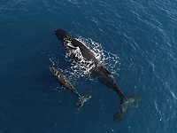 Aerial view of wales, West coast of Reunion, Baby wale and mother, Reunion Island, Indian Ocean