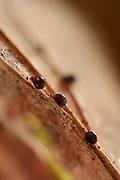 Moss mite (Oribatida) on fallen oak tree leaf, Leaf Litter. Westensee, Kiel, Germany | Hornmilben (Oribatida) auf Eichenblatt. Westensee, Kiel, Deutschland