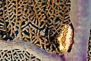 Flamingo Tongue, Cyphoma Gibbosum, Grand Cayman