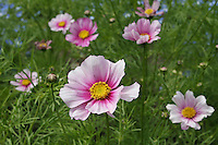 Cosmos white and pink flowers