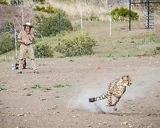 Cheetahs in Captivity - 23 Jan 2018