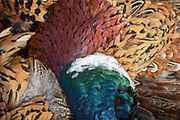 Colorful rooster pheasants on a tailgate in South Dakota