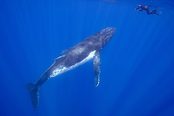 A humpback whale, Megaptera novaeangliae, approaches a snorkeler at the surface. Moorea, French Polynesia, Pacific Ocean