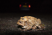 Mating toads (Bufo bufo) crossing a road at night on migration to breeding pond. Sussex, UK.