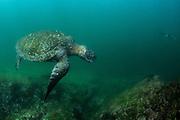 Galapagos Green Turtle (Chelonia mydas agassisi)<br /> Tagus Cove<br /> Isabela<br /> Galapagos<br /> Ecuador, South America