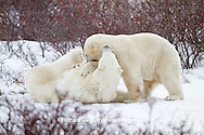 01874-12510 Two Polar bears (Ursus maritimus) sparring, Churchill Wildlife Management Area, Churchill, MB Canada