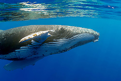 humpback whale, Megaptera novaeangliae, extending pectoral fin to reach out, Hawaii, USA, Pacific Ocean