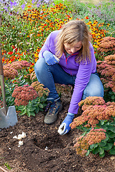 Planting allium cristophii bulbs in a border in early autumn