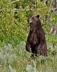 Standing Grizzly Bear 610, Grand Teton National Park