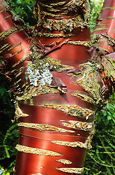 The bark of Prunus serrula
