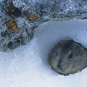 Brown Lemming (Lemmus trimucrontatus) burrowed in snow and ice. Nunavut Territory, Canada