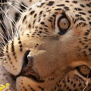 Close up portrait of a leopard (Panthera pardus). Kenya, Africa