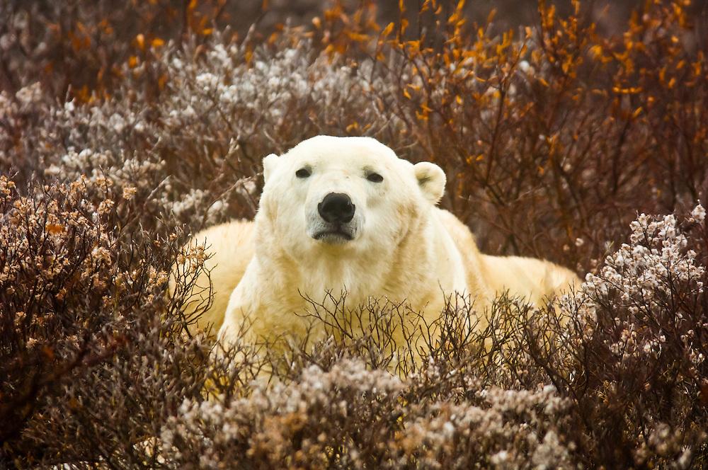 A male polar bear on the tundra along Hudson Bay, near Churchill, Manitoba, Canada