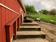 Nigerian Dwarg Goats barn and field area of Norman J Levy Park and Preserve.