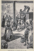 Sheep Shearing at Waldeck Hill from the book ' Mistress Branican ' by Jules Verne, illustrated by Leon Benett. The story begins in the United States, where the heroine, Mistress Branican, suffers a mental breakdown after the death by drowning of her young son. On recovering, she learns that her husband, Captain Branican, has been reported lost at sea. Having acquired a fortune, she is able to launch an expedition to search for her husband, who she is convinced is still alive. She leads the expedition herself and trail leads her into the Australian hinterland. Mistress Branican (French: Mistress Branican, 1891) is an adventure novel written by Jules Verne and based on Colonel Peter Egerton Warburton and Ernest Giles accounts of their journeys across the Western Australian deserts, and inspired by the search launched by Lady Franklin when her husband Sir John Franklin was reported lost in the Northwest Passage. Translated by A. Estoclet, Published in New York, Cassell Pub. Co. 1891.