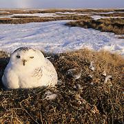Snowy Owl (Bubo scandiacus) adult on a nest. Barrow, Alaska
