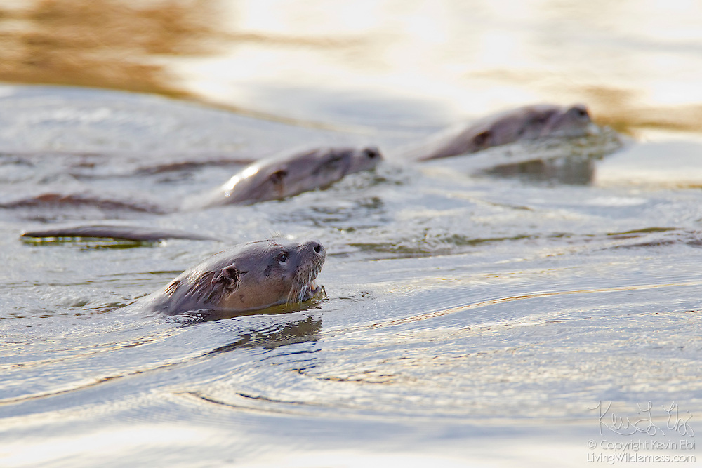 Several North American river otters (Lontra canadensis) swim together in a channel in the Ridgefield National Wildlife Refuge in Washington. The river otters most commonly eat fish, but they also consume various amphibians, turtles, and crayfish.
