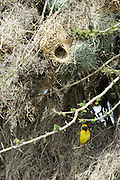Kenya, Masai Mara, Speke's Weaver, Ploceus spekei