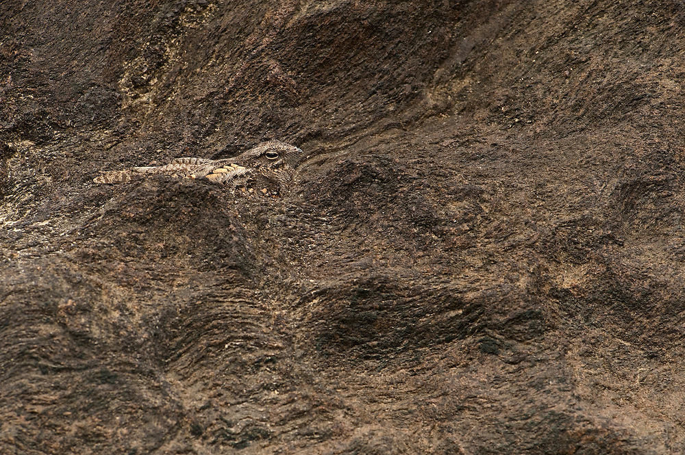 Parauque (Nyctidromus albicollis),<br /> Nesting on rock in river<br /> Iwokrama<br /> Guyana<br /> South America