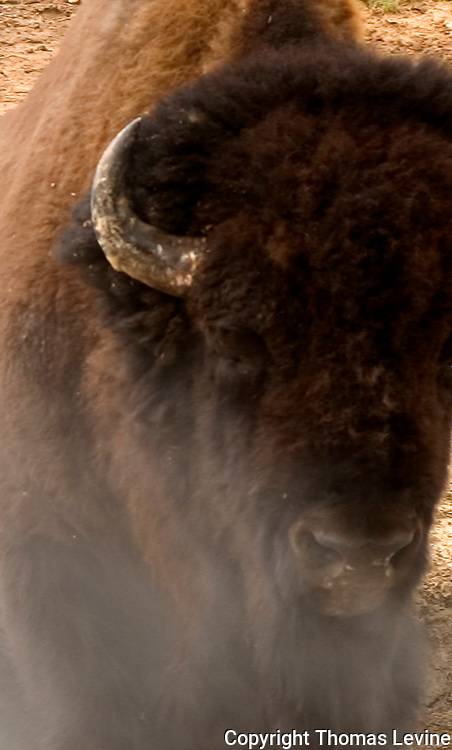 A Bison in front of a hot spring in Yellowstone Natl. Park, WY