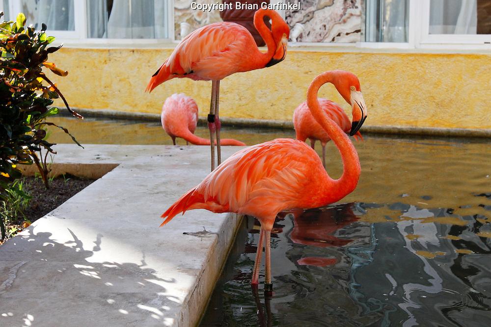 Flamingos at the Iberostar Del Mar resort in Rivera Maya, Mexico