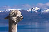 Alpacas and Llamas and Goats