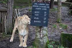 London, UK. 2 January, 2020. Heidi, a female Asiatic lion appears during the annual stocktake at ZSL London Zoo. Every mammal, bird, reptile, fish and invertebrate is counted - a total of more than 500 different species - as part of an almost week-long audit required by the Zoo's licence, with the information recorded then shared with other zoos via the Species360 database.