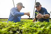 53895 Crofton, Ky. - Mike Cansler, 69, right, Greenhouse Manager of Kentucky Hemp Works, and his uncle, Jerry Cansler, 76, work moving hemp seedlings to planters inside the Kentucky Hemp Works greenhouses. Cansler oversees 4 greenhouses with around 2,400 hemp plants in each. <br /> <br /> CREDIT: William DeShazer for The Wall Street Journal