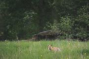Red Fox (Vulpes vulpes), Photo by Davis Ulands | davisulands.com