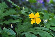 A Celandine Poppy (Stylophorum diphyllum) flower, foliage, and seedheads