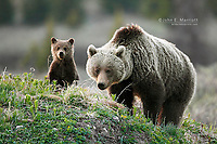 Grizzly bear sow and cub