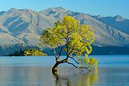 Oceania, New Zealand, Aotearoa, South Island, Wanaka, Lake Wanaka, Tree in water