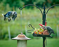 Red-bellied Woodpecker, Blue Jay. Image taken with a Nikon D850 camera and 200 mm f/2 lens