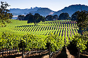Vineyard on rolling hills in the wine country of Napa Valley, CA