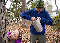 "Julia goes in for a quick taste while her dad Marc Herrmann readies the sap bucket during a ""family tree tapping"" at Herrmann's father in law's yard on Sunday afternoon.  (Karen Bobotas/for the Laconia Daily Sun)"