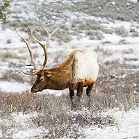 Animals - Deer, Moose, & Elk