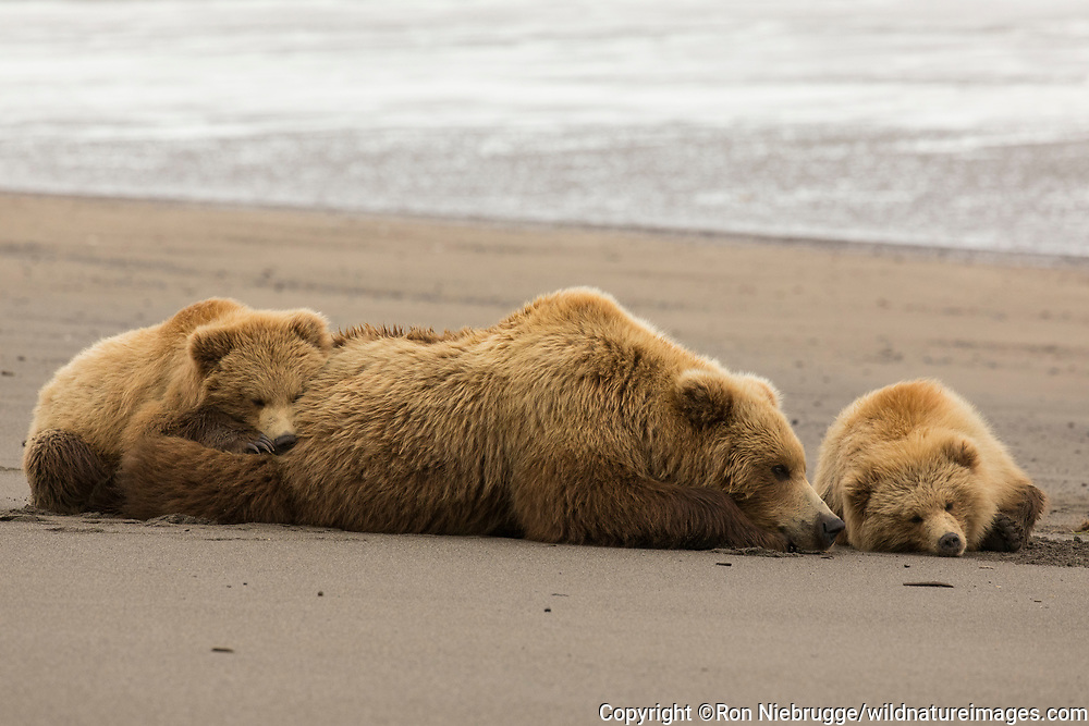 Grizzly Bear sow with cubs, Lake Clark National Park, Alaska
