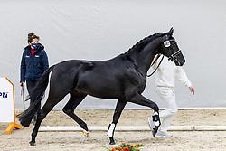 587, Nadal SSF<br /> KWPN Hengstenkeuring 2021<br /> © Hippo Foto - Dirk Caremans<br />  05/02/2021