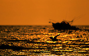 Brown Pelican & Fishing Boat silhouetted at sunset near Horn Island, Mississippi.