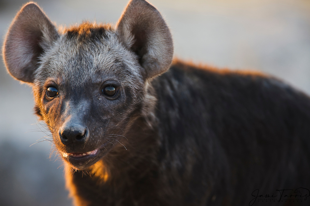 Close-up portrait of a hyena cub face (Crocuta crocuta) watching with curiosity from the safety of the den, Khwai River, Botswana, Africa