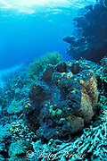 giant clam,<br /> Tridacna gigas,<br /> Great Barrier Reef, Australia,<br /> ( Western Pacific Ocean / Coral Sea )