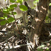 Long-eared Owl (Asio otus) adult in a forest in Montana during springtime.
