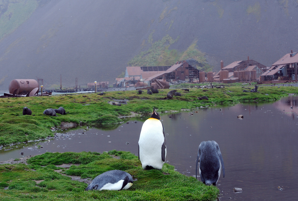King penguins (Aptenodytes patagonicus) in front of the old whaling station in Stromness. Stromness, Stromness Bay, South Georgia, South Atlantic. 20Feb16