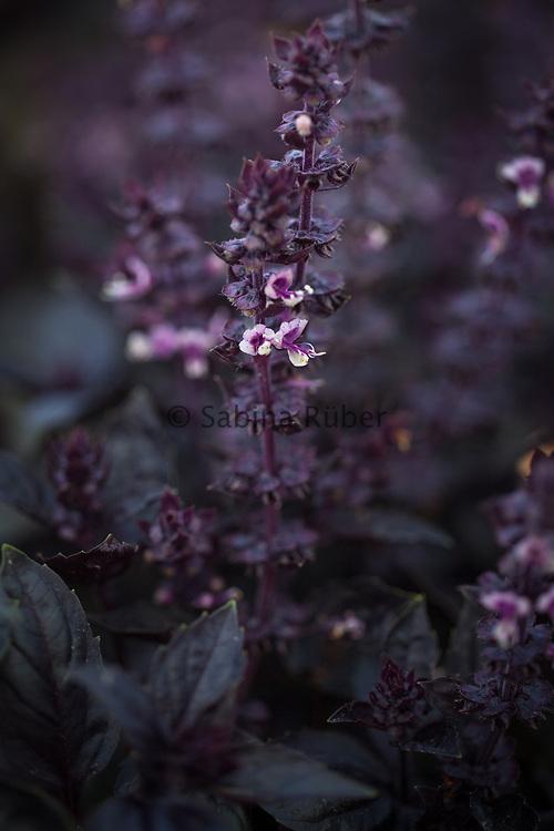 Ocimum basilicum 'Purple Tulsi'