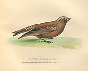 gray-crowned rosy finch (Leucosticte tephrocotis syn Linaria tephrocotis) color plate of North American birds from Fauna boreali-americana; or, The zoology of the northern parts of British America, containing descriptions of the objects of natural history collected on the late northern land expeditions under command of Capt. Sir John Franklin by Richardson, John, Sir, 1787-1865 Published 1829