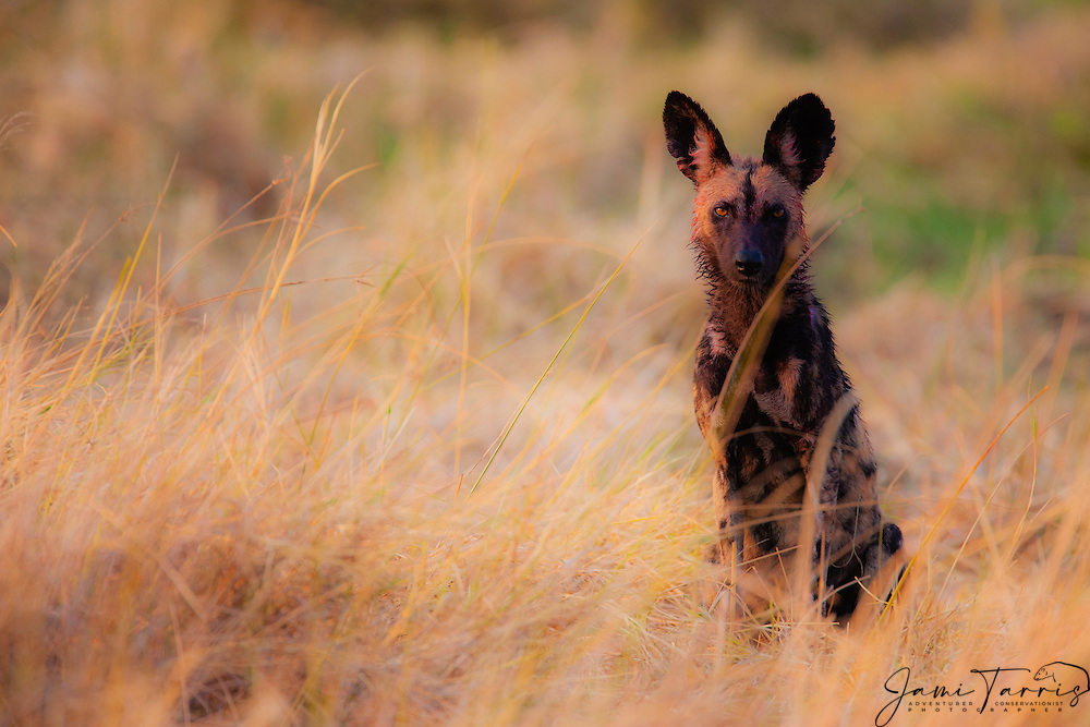 After returning to its den from a successful hunt, an alpha female Wild Dog (Lycaon pictus) sits while being watchful for other predators in early morning, Moremi Game Reserve,Botswana, Africa