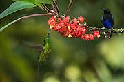 Purple-Bibbed Whitetip (Urosticte benjamini)<br /> Mashpi Rainforest Biodiversity Reserve<br /> Pichincha<br /> Ecuador<br /> South America