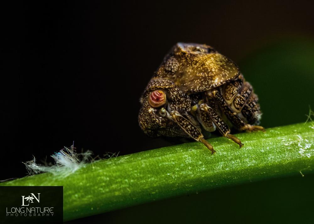 Acanalonia bivittata early instar, planthopper nymph. Photographed at Flat Island Preserve  FL, 2 mm.