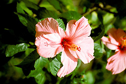 Bahamas: Colorful Caribbean flower, flora, hibiscus.  Photo: bahcol105.Photo copyright Lee Foster, 510/549-2202, lee@fostertravel.com, www.fostertravel.com