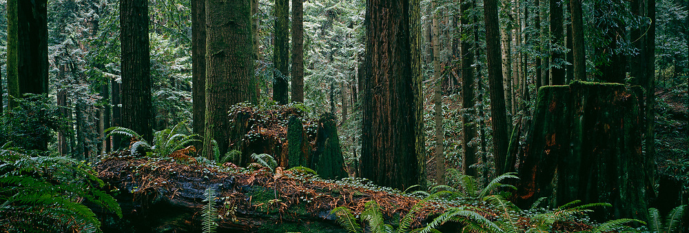 Photo of a Pacific Northwest temperate rain forest.